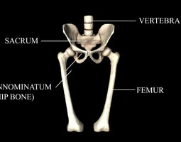 Hip Joint - Hip bone Sacrum Femur - Only bones Medically Accurate 3d Model 3D Model