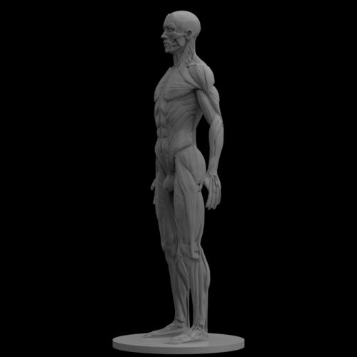 male ecorche human anatomy reference 3d model obj stl mtl 1