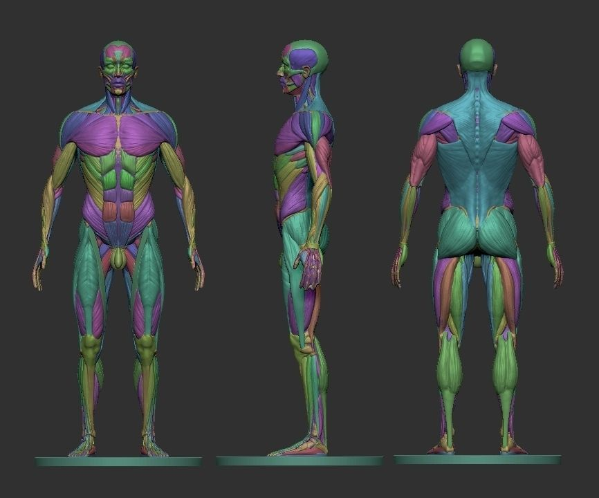 ... male ecorche human anatomy reference 3d model 3d printable
