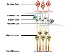 3D model Retina Neurons Infographic