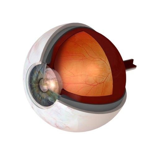 Eye Anatomy Cutaway3D model