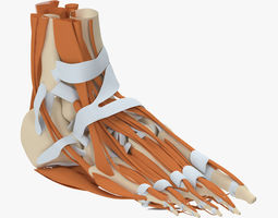3D model Foot Anatomy