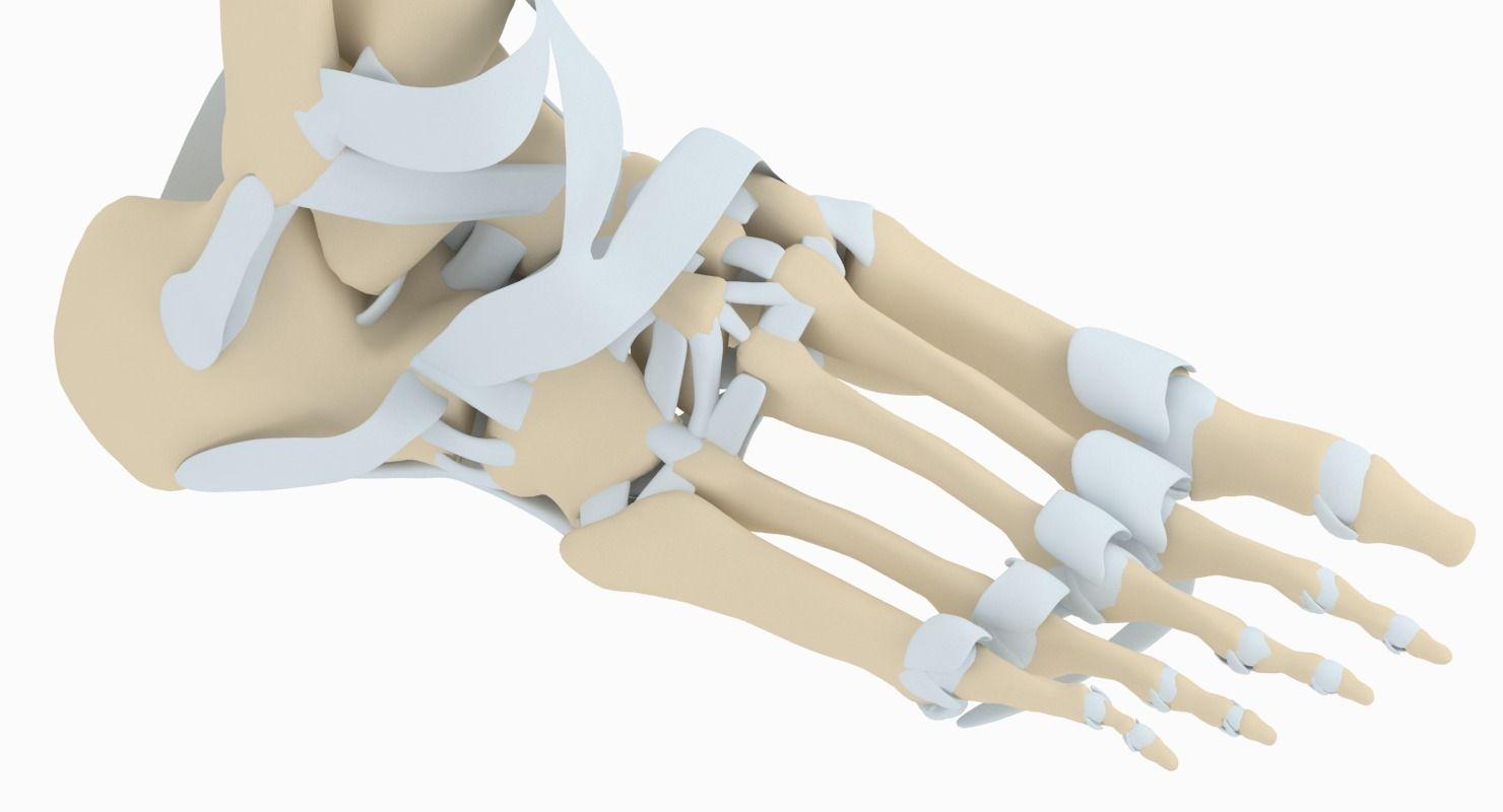 3D model Foot Anatomy   CGTrader