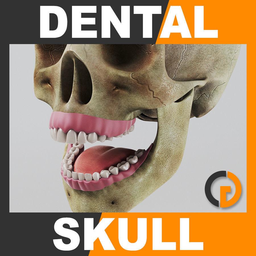Human Dental Skull - Teeth Gums Tongue - Anatomy