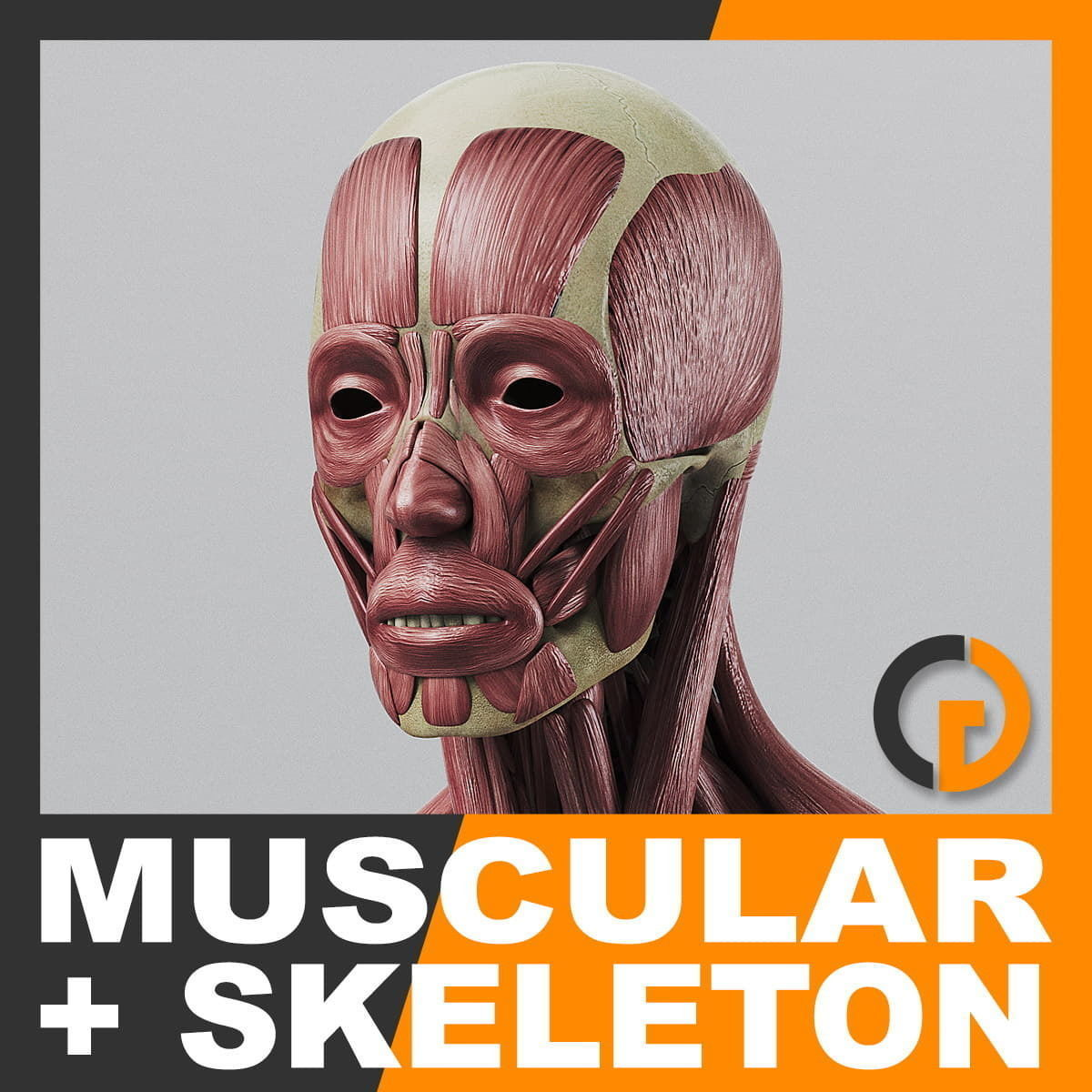 Human Muscular System and Skeleton - Anatomy