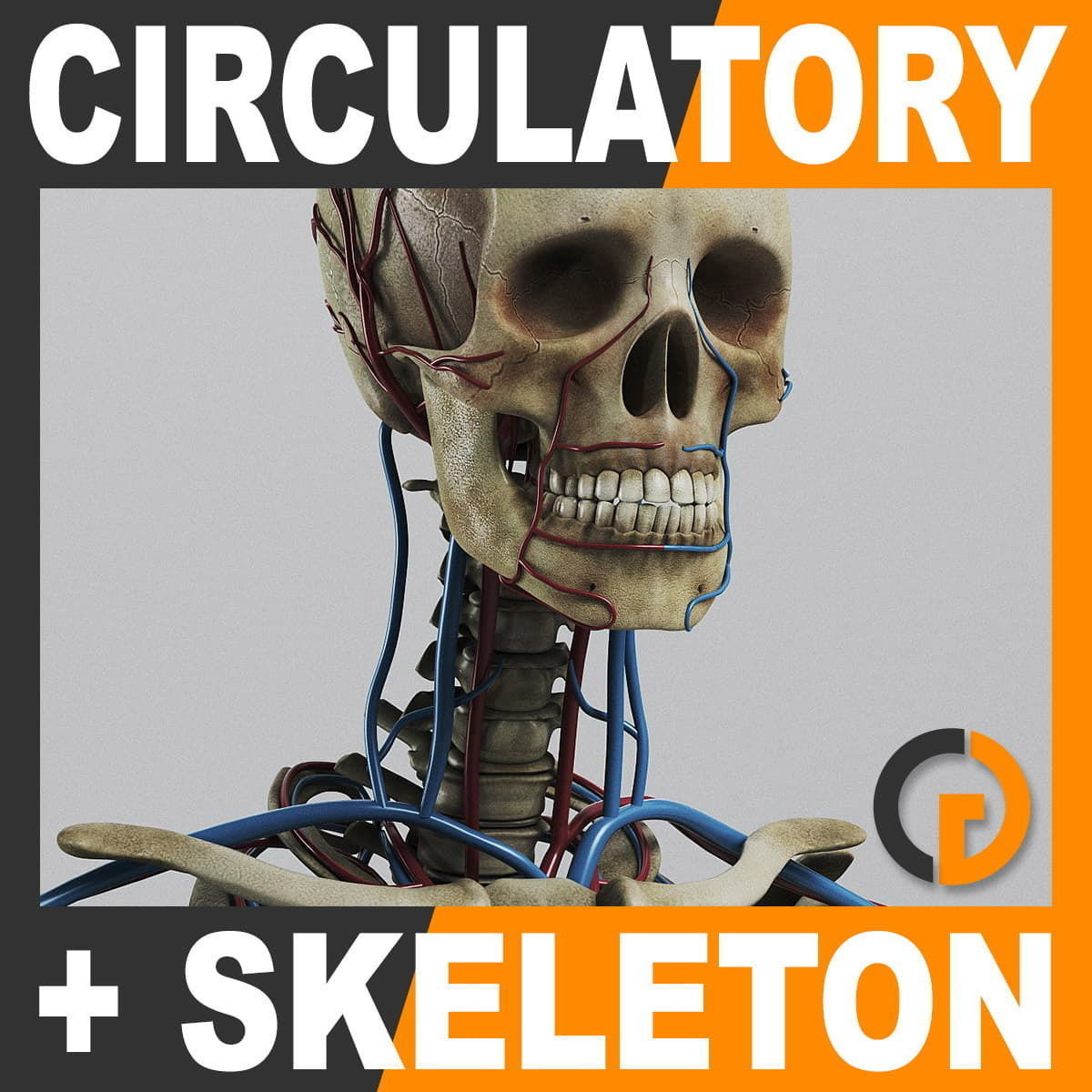 Human Circulatory System and Skeleton - Anatomy