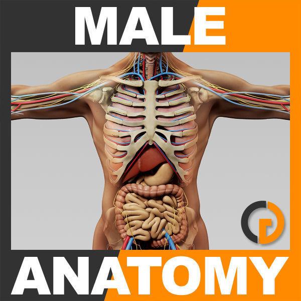 Human Male Anatomy - Body Skeleton Internal Organs