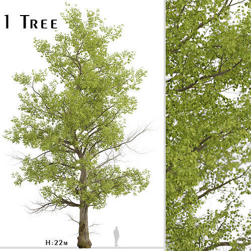 American Sycamore or Platanus Occidentalis Tree - 1 Tree