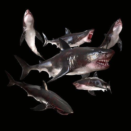 Great White Shark Model  7 animations Pack