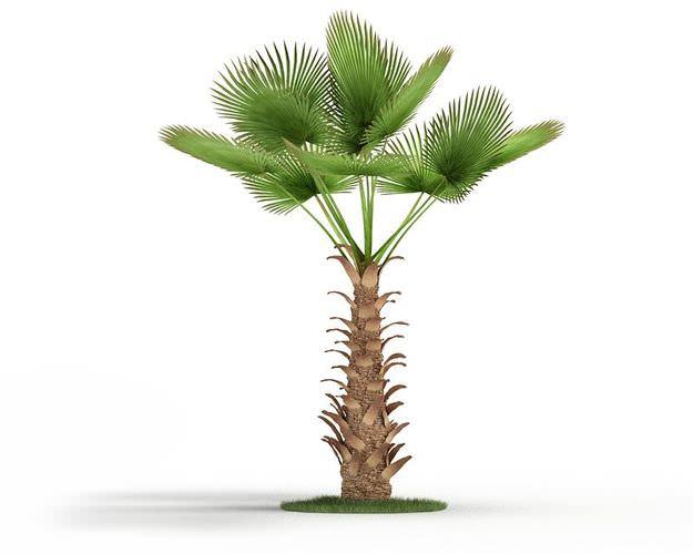 Chinese Windmill Palm Tree3D model