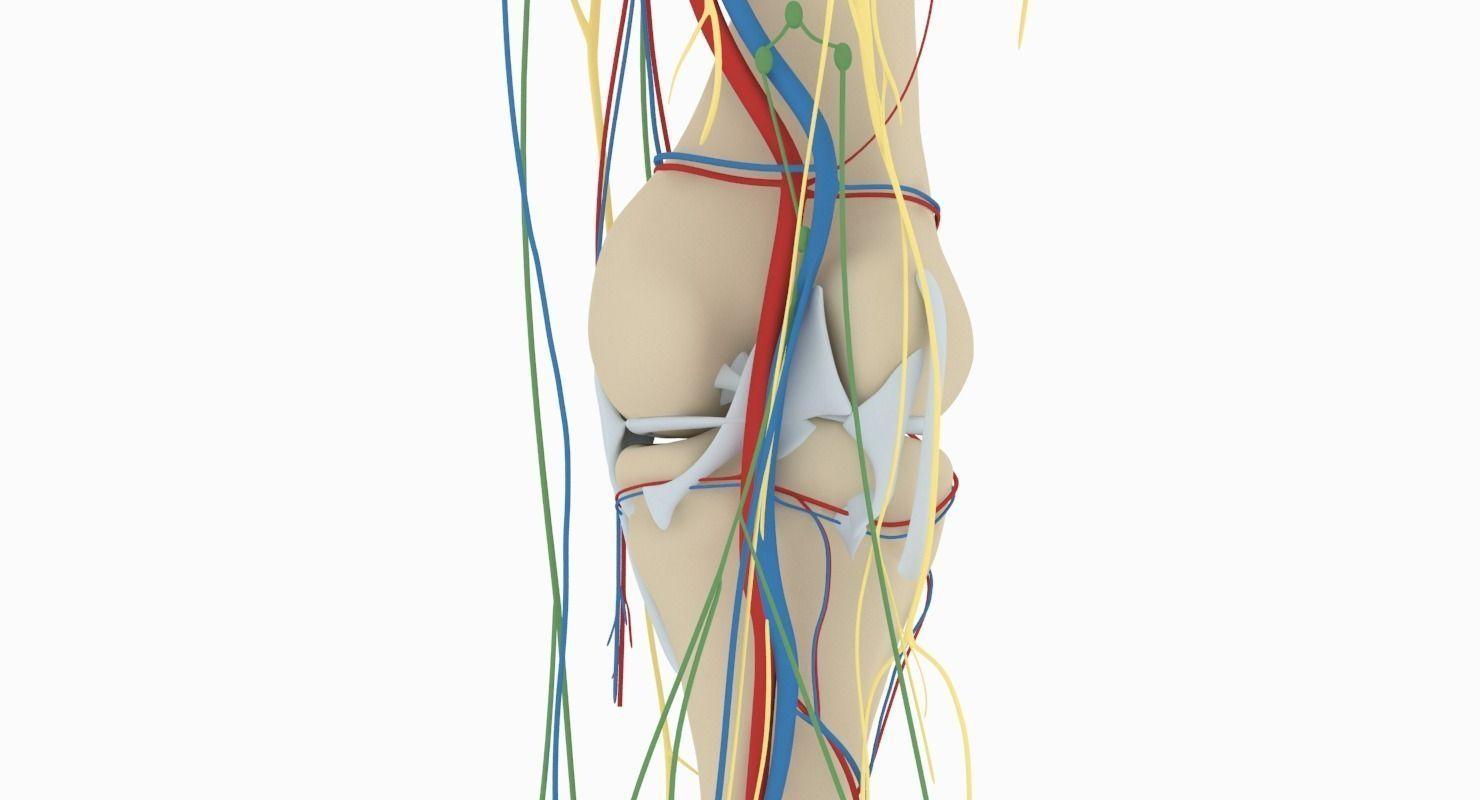 Knee Anatomy 3d Model Cgtrader