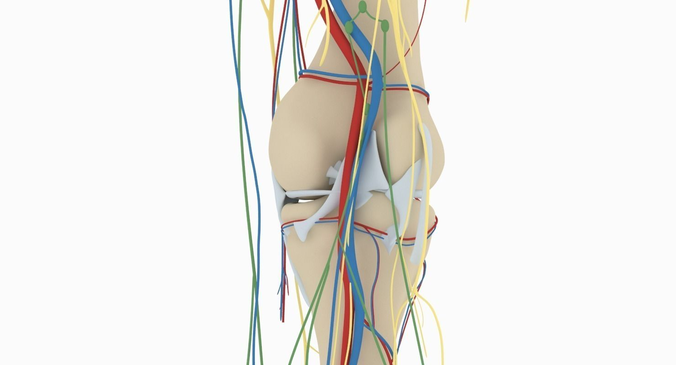 Knee anatomy 3d choice image human anatomy organs diagram knee anatomy 3d model cgtrader ccuart Image collections