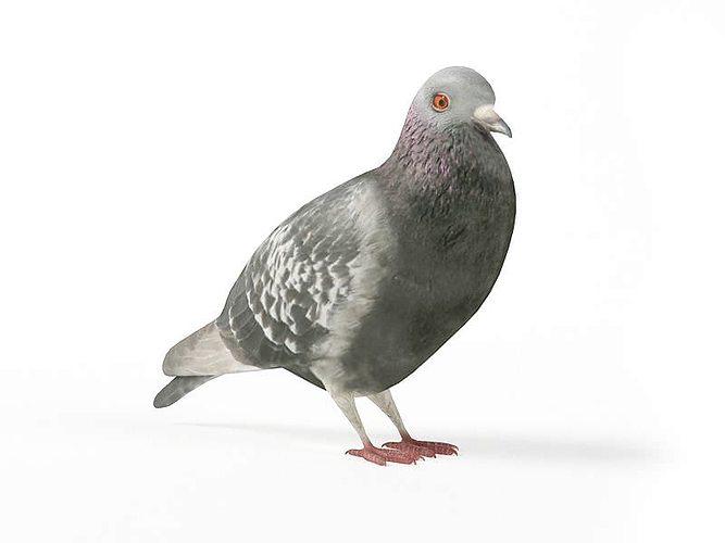 grey pigeon 3d model obj mtl 1