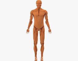 muscular system 3d model
