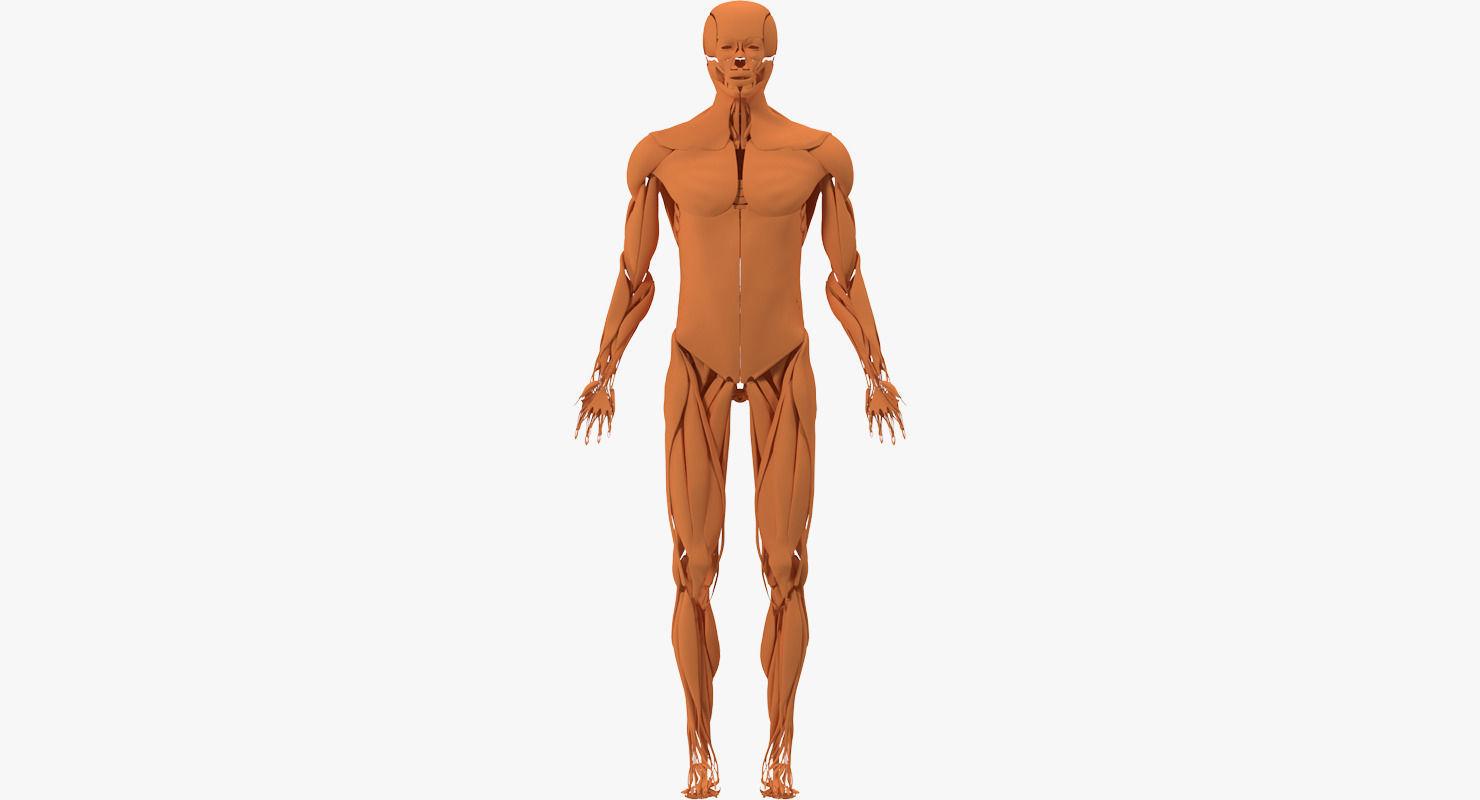 3d Model Muscular System Cgtrader