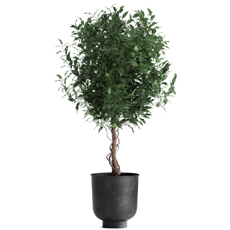 Ficus benjamina in a flowerpot for the interior 901