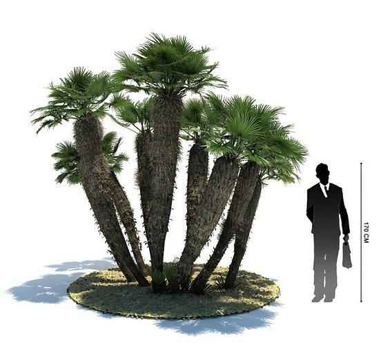 exotic palm tree   chamaerops humilis 3d model obj mtl 1