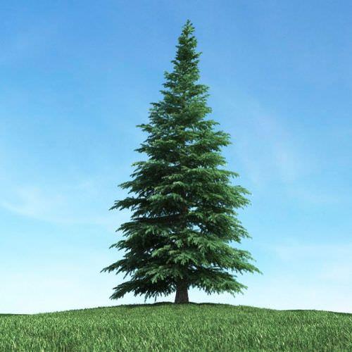 Fir Tree3D model
