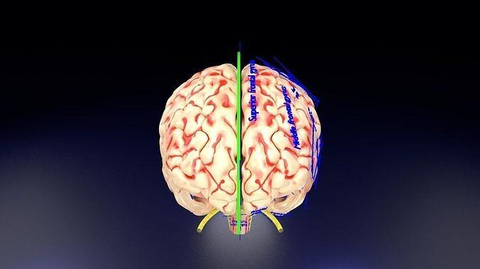 Central nervous system cortex limbic basal ganglia stem cerebel