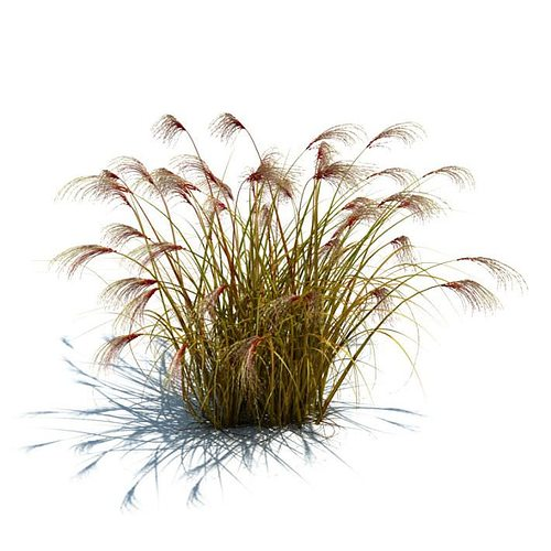 3d wild grass cgtrader for Wild ornamental grasses