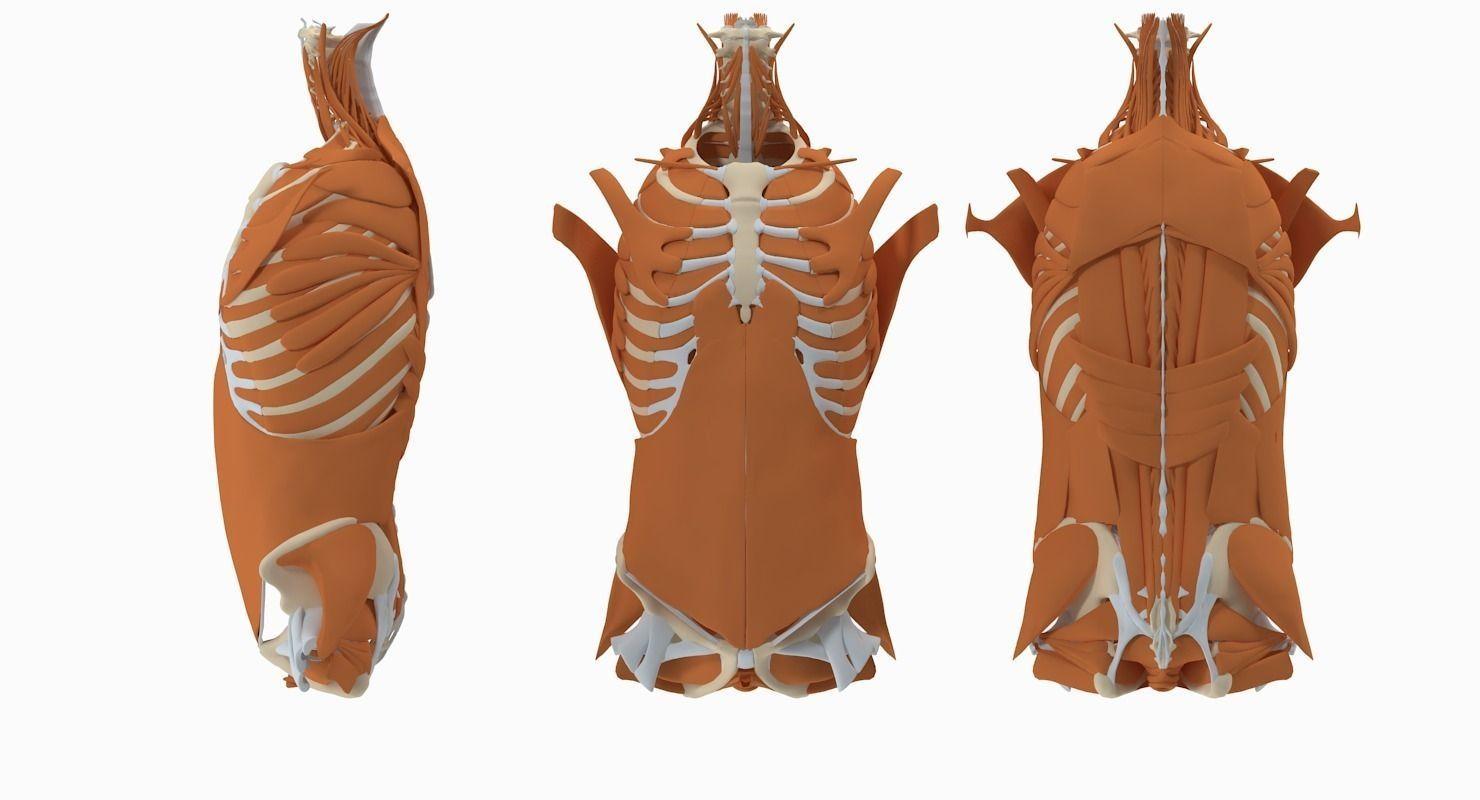 Male Torso Anatomy 3D | CGTrader