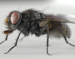 housefly rigged and animated for cinema 4d 3d model
