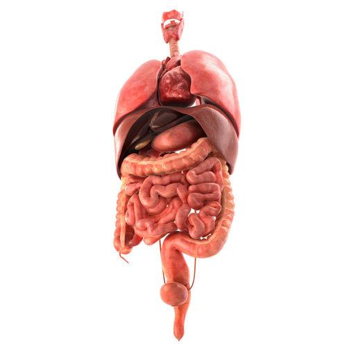 Human Internal Organs 3d Asset Cgtrader