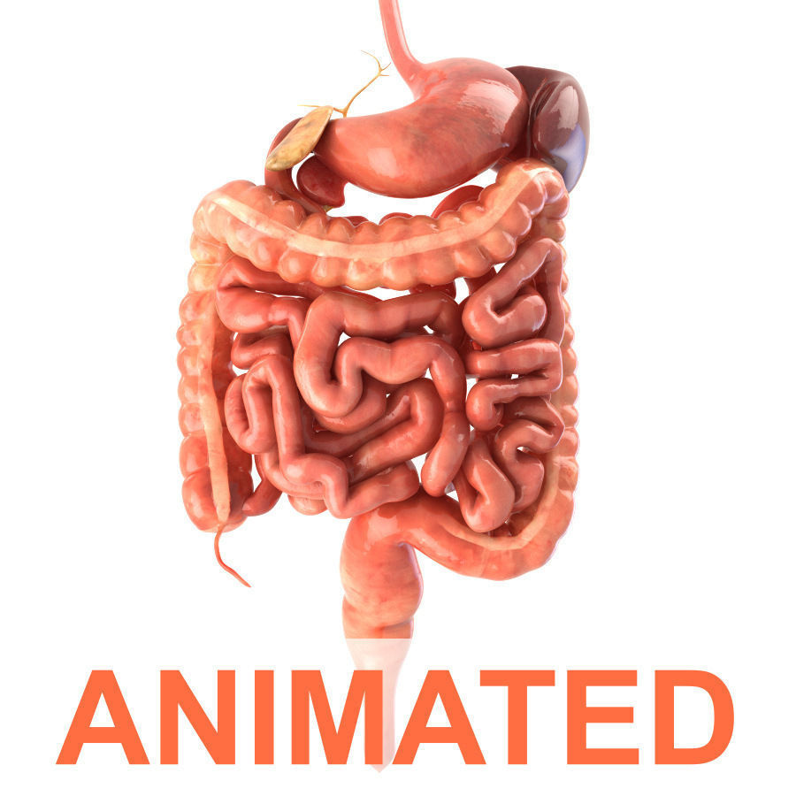 Digestive System Animated 3d Asset Cgtrader