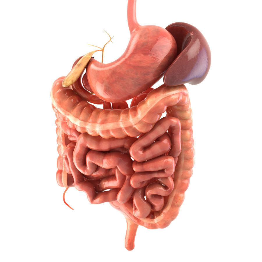 Digestive system animated 3d asset cgtrader digestive system animated 3d model rigged animated max obj fbx c4d lwo lw lws 3 ccuart Image collections