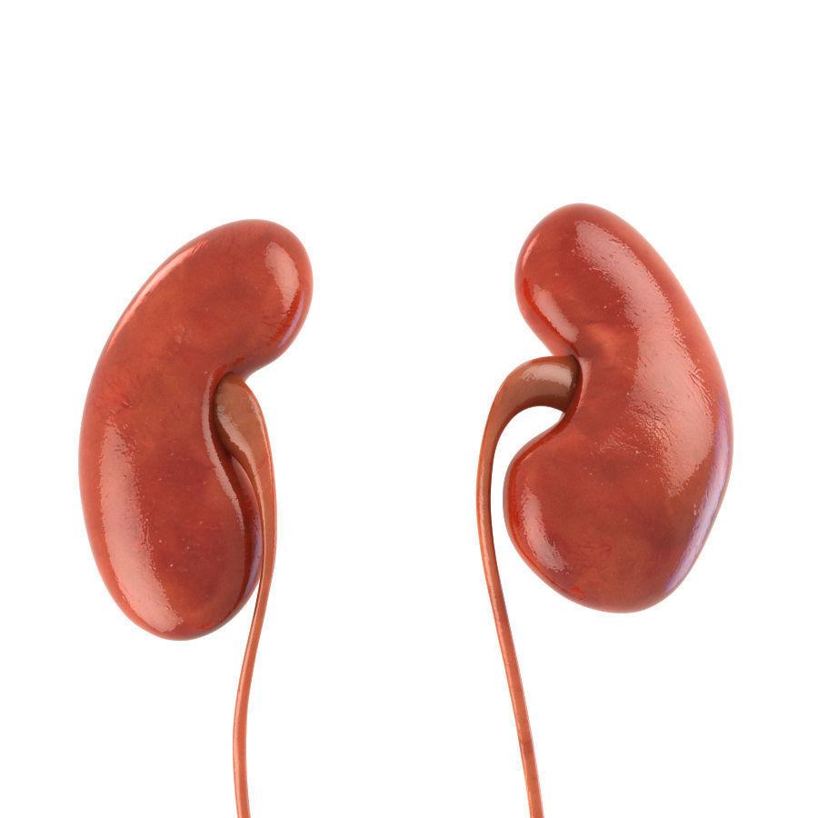Human Kidneys 3d Model Cgtrader