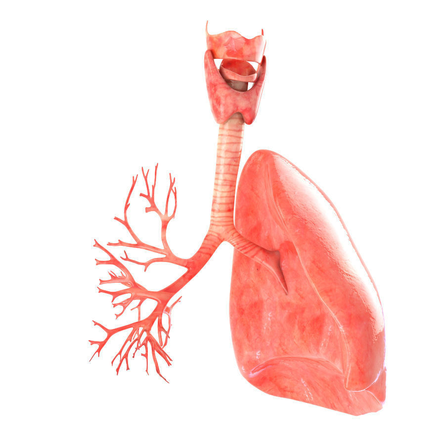 Lungs animated 3D asset | CGTrader
