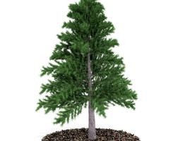 Evergreen Pine Tree 3D