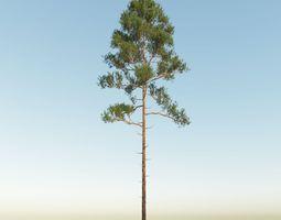 3D Scot pine 15m tall Pinus sylvestris