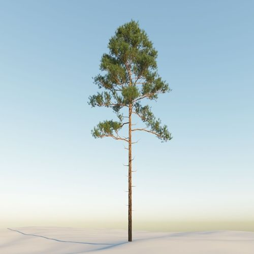 scot pine 15m tall  pinus sylvestris 3d model max obj fbx mxs mtl 1