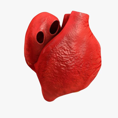 animated realistic human heart - medically accurate 3d model low-poly animated obj 3ds fbx c4d dxf stl 19