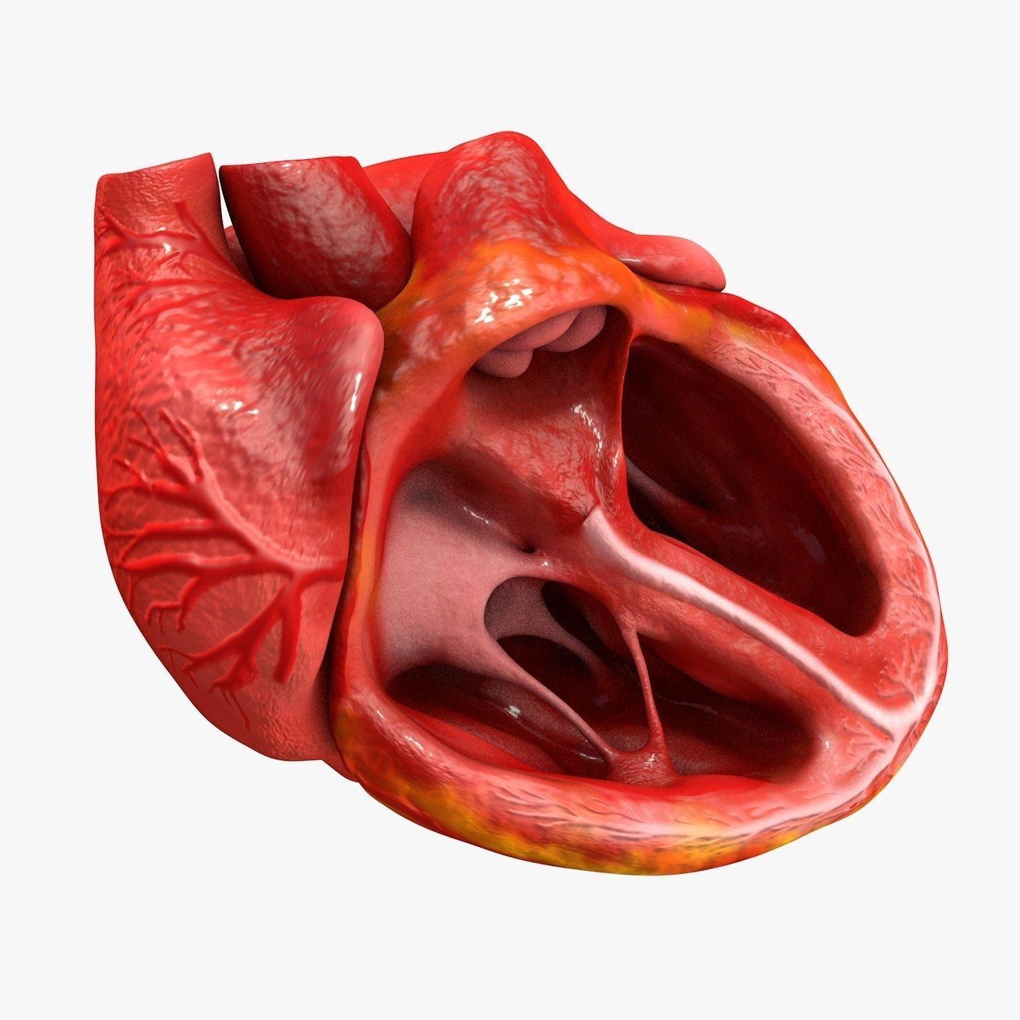 Animated human heart - photo#41