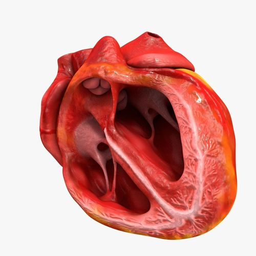 animated realistic human heart - medically accurate 3d model low-poly animated obj 3ds fbx c4d dxf stl 42