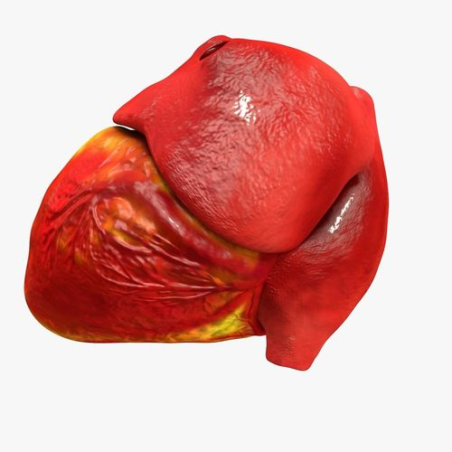 animated realistic human heart - medically accurate 3d model low-poly animated obj 3ds fbx c4d dxf stl 29