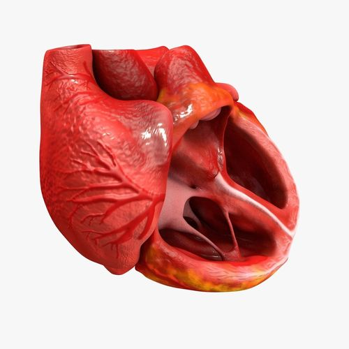 animated realistic human heart - medically accurate 3d model low-poly animated obj 3ds fbx c4d dxf stl 14