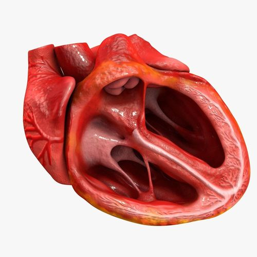 animated realistic human heart - medically accurate 3d model low-poly animated obj 3ds fbx c4d dxf stl 43