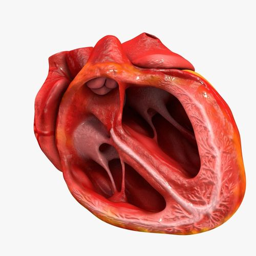 animated realistic human heart - medically accurate 3d model low-poly animated obj 3ds fbx c4d dxf stl 44