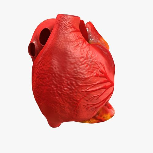 animated realistic human heart - medically accurate 3d model low-poly animated obj 3ds fbx c4d dxf stl 18