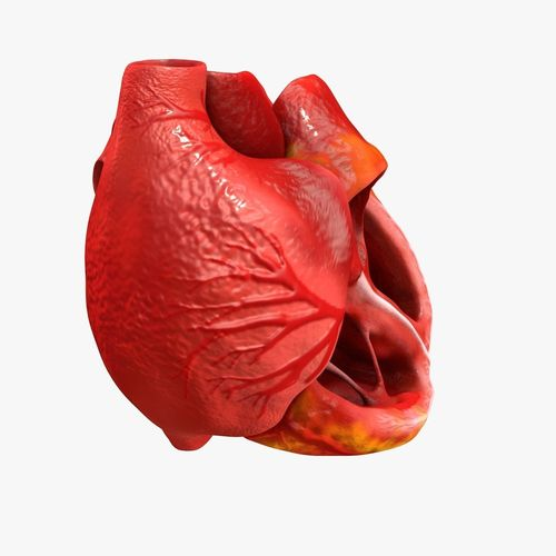 animated realistic human heart - medically accurate 3d model low-poly animated obj 3ds fbx c4d dxf stl 10