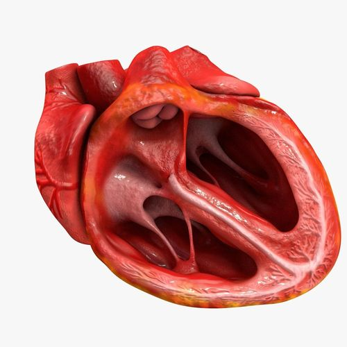 animated realistic human heart - medically accurate 3d model low-poly animated obj 3ds fbx c4d dxf stl 46