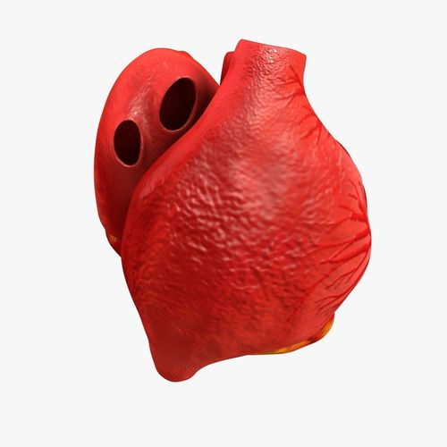 animated realistic human heart - medically accurate 3d model low-poly animated obj 3ds fbx c4d dxf stl 20