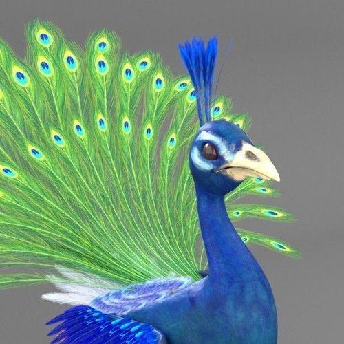 3d Peacock Cgtrader