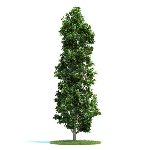 Narrow landscape tree 3d model for Skinny trees for tight spaces