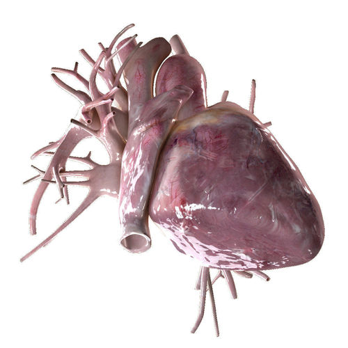 human heart beating high quality 3d model animated max obj fbx mtl 1