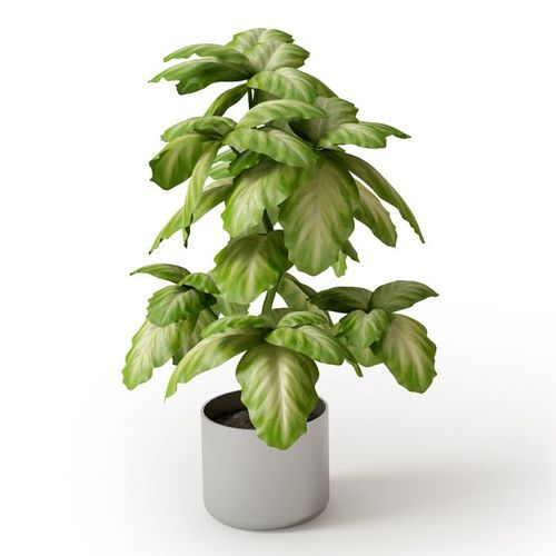 Broad Leaf Potted Plant 3D Model