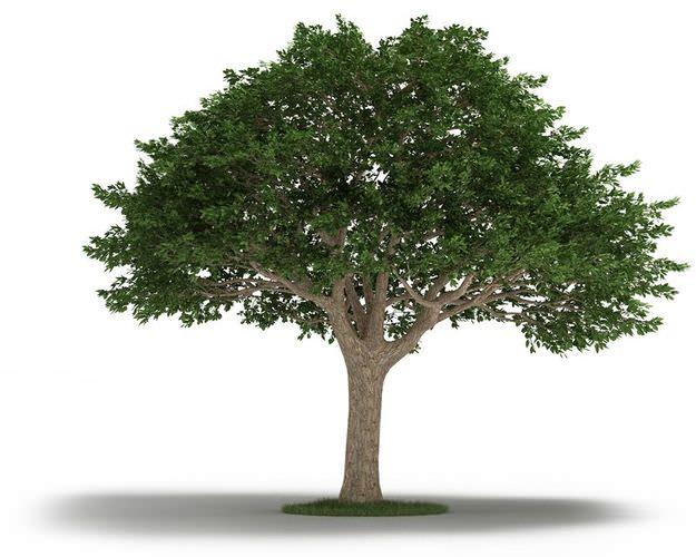 Tree neem tree 3d model